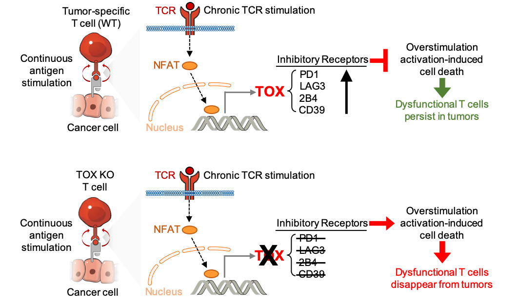 TOX as a Regulator of Tumor-specific T Cell Differentiation